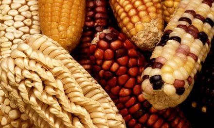 Milho: um alimento versátil, nutritivo e de grande importância econômica